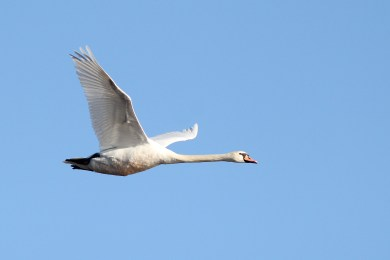 Mute Swans, like this big guy, are (sadly) very common at Cape May Point State Park. (Photo by Alex Lamoreaux)