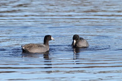 One of the most abundant waterbirds at the state park are American Coots. (Photo by Alex Lamoreaux)