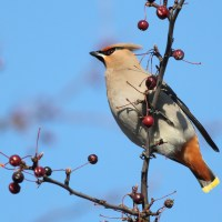 Bohemian Waxwings in Ottawa