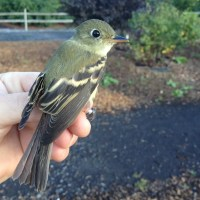 Yellow-bellied Invasion - PSU Fall Banding
