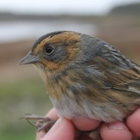 Nelson's Sparrows - PSU Fall Banding