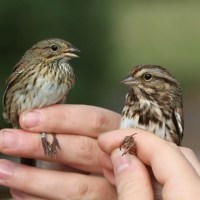 Lincoln's Sparrow vs. Song Sparrow - PSU Fall Banding