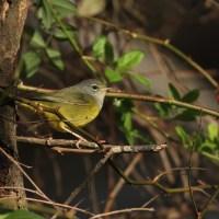 MacGillivray's Warbler - Highspire, Pennsylvania
