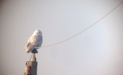 Snowy Owl along Port Mahon Rd., Kent Co, DE on 29 November 2013. Photo by Tim Schreckengost.