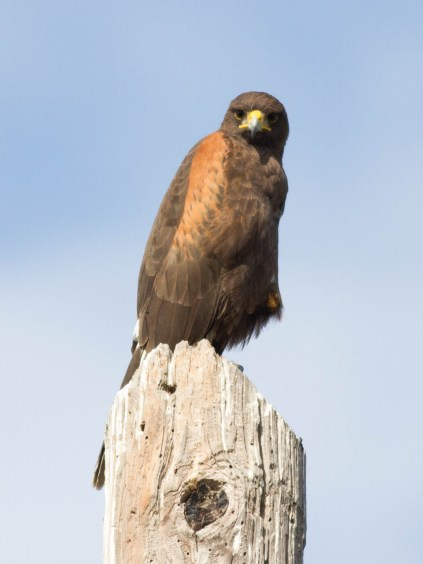 Harris's Hawk, Mission Nature Park (photo by Tiffany Kersten)
