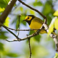 10 Warblers you won't want to miss at the Biggest Week