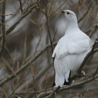 Willow Ptarmigan - 1st for New York!