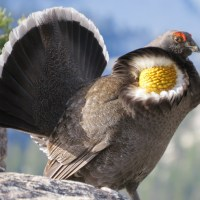 Sooty Grouse in the Sierra Nevada Mountains