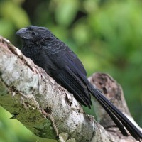 Belize Birding: Groove-billed Ani