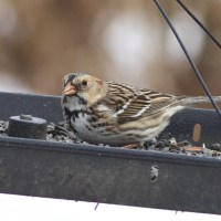 Harris's Sparrow and 'Gambel's' White-crowned Sparrow