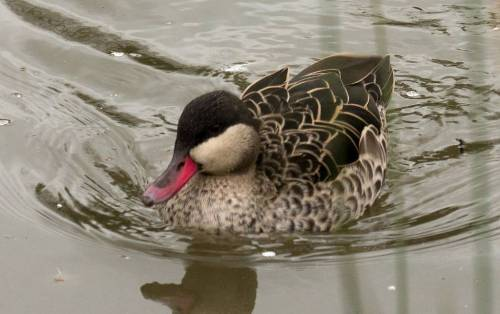 Red-billed Pintail