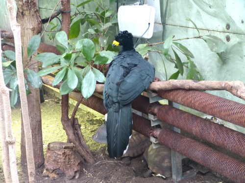 Yellow-knobbed Curassow
