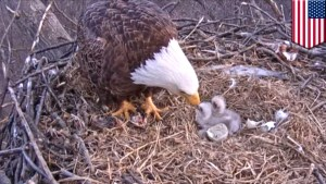 Why millions were waiting along with Washington for this Eaglet to come out?