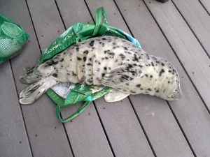 People are taking Baby Seals to their Home, for giving death! Shocking!