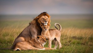 Enjoy trending video of lions relaxing