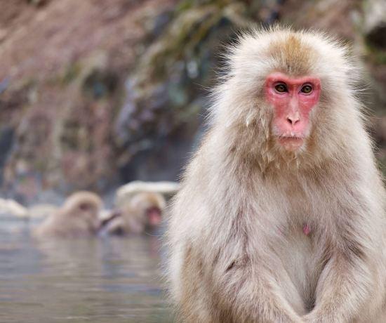 Snow Monkeys of Jigokudani, Yamanouchi, Nagano Prefecture, Japan