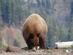 Braunbär im Lassen Volcanic National Park