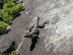 Agame auf dem Tafelberg