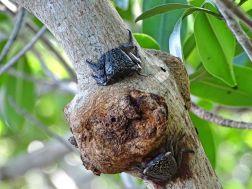 Mangrovenkrabbe