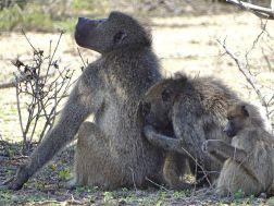Affen im Krüger Nationalpark
