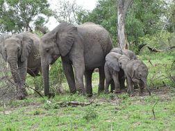 Elefantenherde mit mehreren Jungtieren
