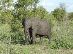 Elefant im Manyeleti Private Game Reserve