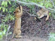 Verspielte Löwenbabies