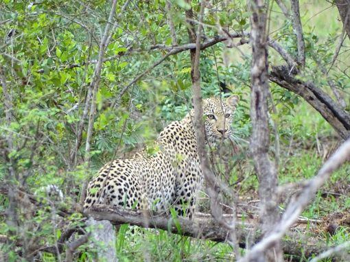 Leoparden-Weibchen