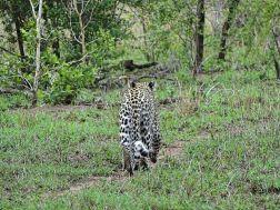 Leopard, Tintswalo Safari Lodge