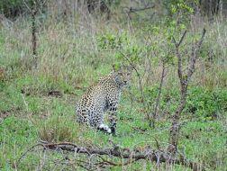 Wachsames Leoparden-Weibchen
