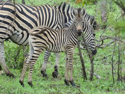Zebra-Jungtier
