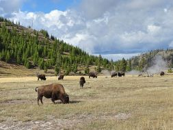 Bisonherde, Yellowstone Nationalpark