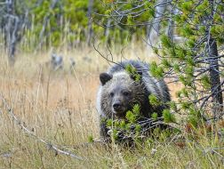 Grizzly, Yellowstone Nationalpark
