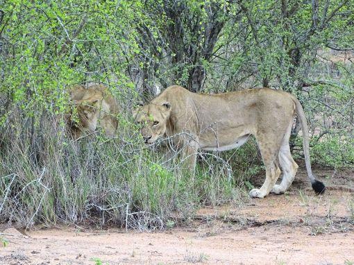Löwinnen im Klaserie Private Nature Reserve, Südafrika