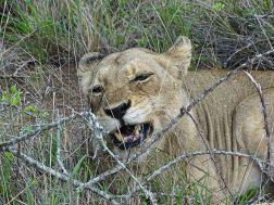 Löwin in Südafrika