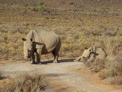 Nashorn-Mutter mit Jungtier