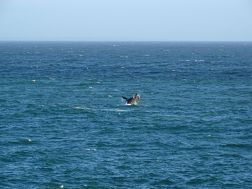 Southern Right Whale in Hermanus