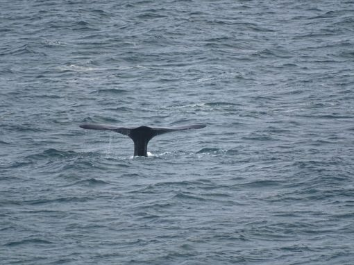 Fluke eines Southern Right Whales