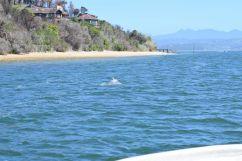 Delphin in der Knysna Lagune