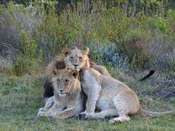 Löwen mit Cubs