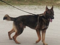 K-9 Police Officer Prego. Photo courtesy the Royal St. Christopher and Nevis Police Force