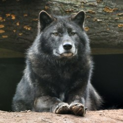 Small Crop Of Male Wolf Names