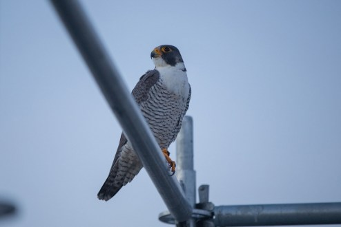 February 23, 2017 - A migratory peregrine falcon returns to the Tappan Zee Bridge.