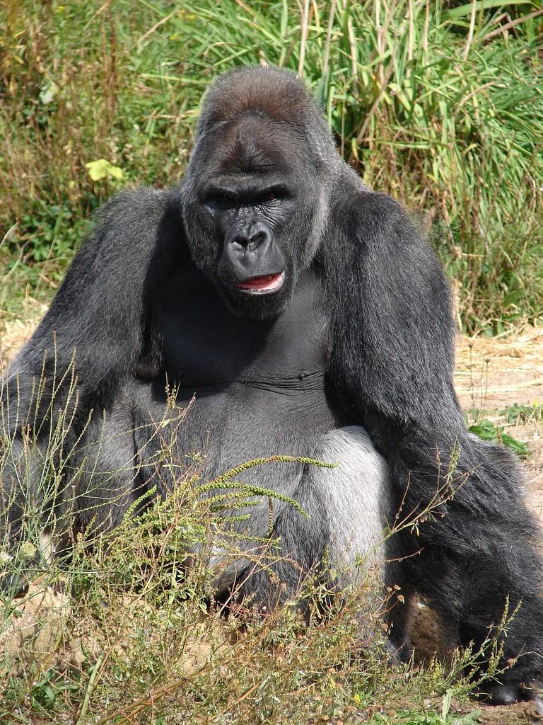 Jock,_the_Gorilla
