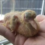 Baby Pigeon Photo 04
