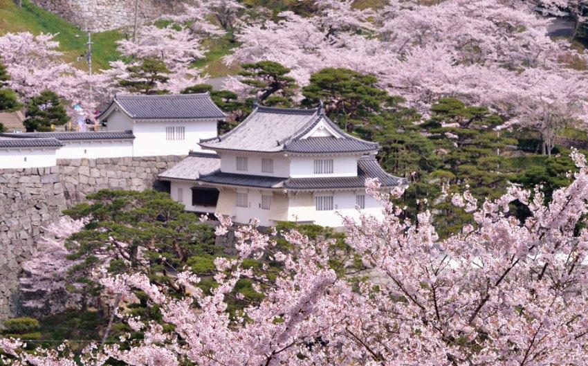 入選「桜花爛漫」の写真