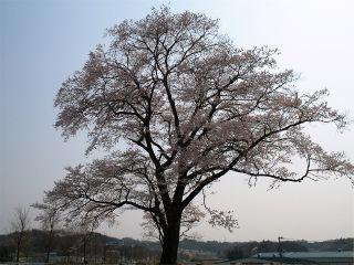 万燈桜の写真
