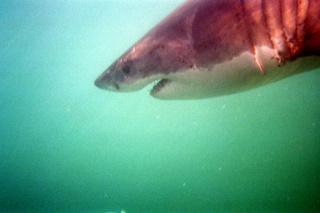 Der Große Weiße Hai taucht ab. Das jugendliche männliche Tier ist 3,50 Meter groß. (c)nikkiundmichi.de