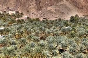 Oase im Oman: Dattelpalmen inmitten der kargen Landschaft.