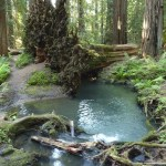 Roots of huge fallen redwood tree